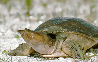 florida_softshell_turtle-1