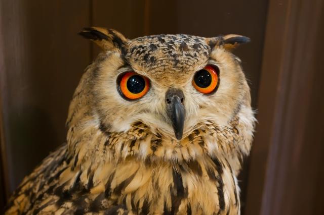 カワイイ猛禽類【闇の狩人】フクロウの魅力をフクロウカフェで知る