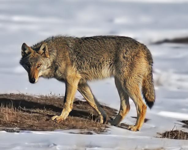 オオカミってカッコいい! その魅力について!! 【狼のエサ・食料】
