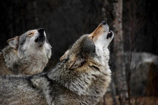 オオカミってカッコいい! その魅力について!! 【狼の生息地と分布】