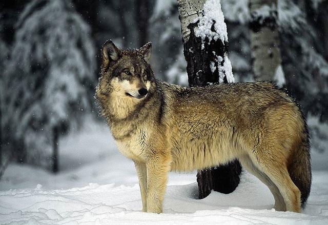 grey-wolf-2