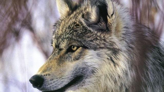 オオカミってカッコいい! その魅力について!! 【狼の種類・一覧】