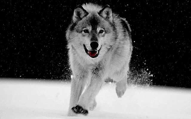 オオカミ(wolf)を使った英語のことわざや熟語をまとめてみた