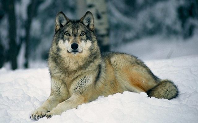 オオカミに関する熟語・四字熟語・ことわざをまとめてみた