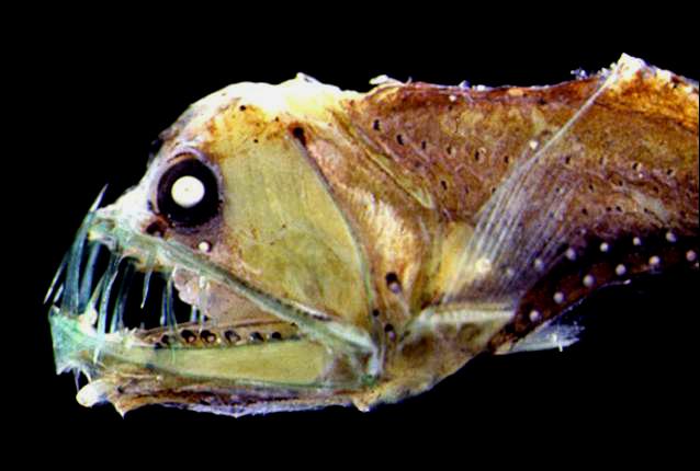 深海魚が水圧に潰されない理由&「グロ」くて「キモ可愛い」理由